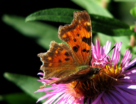 http://www.ambiprospect.com/lepidoptera/images/polygonia_c-album1.jpg